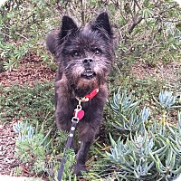 Schnauzer (Standard)/Poodle (Miniature) Mix Puppy for adoption in santa monica, California - Winnie