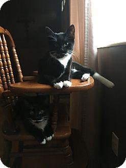 Domestic Shorthair Kitten for adoption in Cincinnati, Ohio - Francesca
