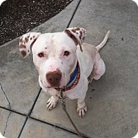 American Staffordshire Terrier Dog for adoption in Westminster, California - Channing