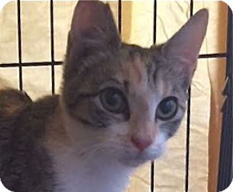 Domestic Shorthair Cat for adoption in LaJolla, California - Chance