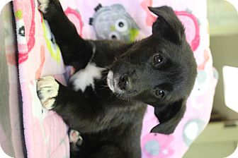 Australian Shepherd/Border Collie Mix Puppy for adoption in Red Bluff, California - Kix