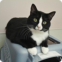Domestic Shorthair Cat for adoption in Howell, Michigan - Buttons