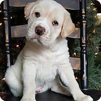 Adopt A Pet :: Blizzard - Champaign, IL