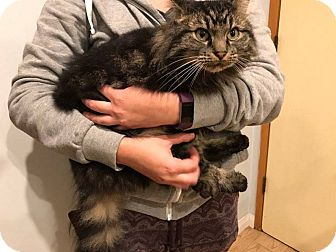 Maine Coon Cat for adoption in North Hollywood, California - Berlia
