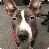 Adopt A Pet :: Violet - Cleveland, OH