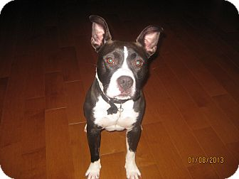 Boston Terrier/Pit Bull Terrier Mix Dog for adoption in Bellingham, Washington - Iggy
