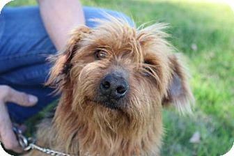 Cairn Terrier/Yorkie, Yorkshire Terrier Mix Dog for adoption in Phoenix, Arizona - Levi