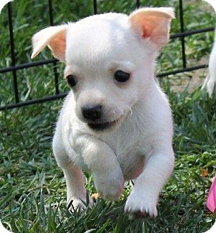 Chihuahua/Dachshund Mix Puppy for adoption in La Habra Heights, California - Teeny Tiny Fairy
