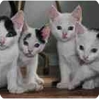 Adopt A Pet :: White Babies - Island Park, NY