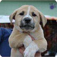Adopt A Pet :: Amber - New Boston, NH