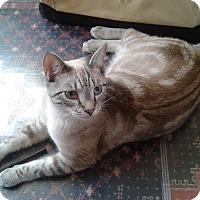 Adopt A Pet :: Mitya & Vanya-Bonded Brothers - Arlington, VA