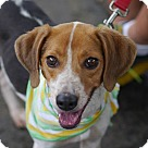 Adopt A Pet :: Roscoe (beagle mix)