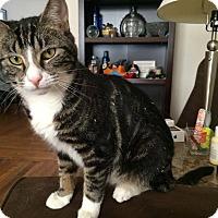 Domestic Shorthair Cat for adoption in Long Beach, New York - Winnie