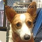 Adopt A Pet :: Cheyanne