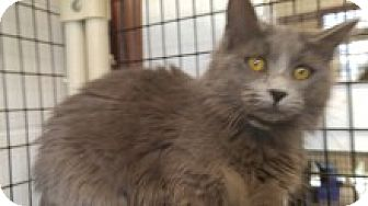 Domestic Mediumhair Cat for adoption in Muscatine, Iowa - Maribelle