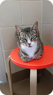 Domestic Shorthair Cat for adoption in Chula Vista, California - Nick