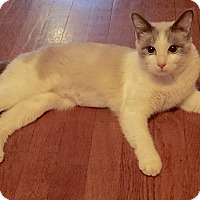 Adopt A Pet :: Rachel-Blue eyed sweety! - Arlington, VA