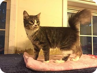 Domestic Mediumhair Cat for adoption in East Stroudsburg, Pennsylvania - Carson II