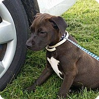 Pit Bull Terrier Mix Puppy for adoption in Durham, North Carolina - Thelma