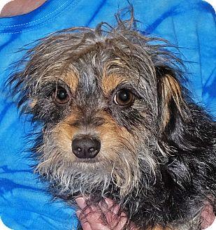 Terrier (Unknown Type, Small) Mix Dog for adoption in Spokane, Washington - Gizmo
