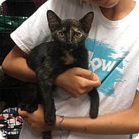 Domestic Shorthair Kitten for adoption in Centerville, Georgia - September