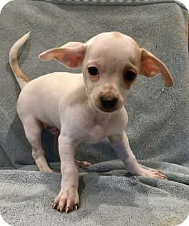 Beagle/Jack Russell Terrier Mix Puppy for adoption in Santa Ana, California - Presley