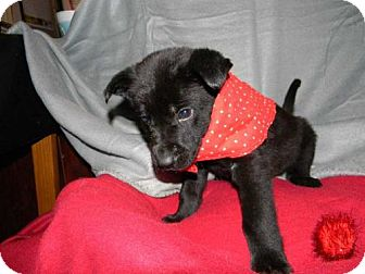 Labrador Retriever/Shepherd (Unknown Type) Mix Dog for adoption in Foristell, Missouri - Roosevelt