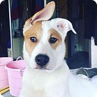 Adopt A Pet :: Rocket - Crestline, CA