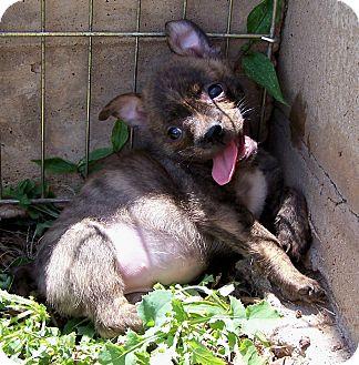 Pomeranian pitbull mix - photo#27