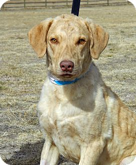 Chesapeake Bay Retriever Mix Dog for adoption in Cheyenne, Wyoming - Bro