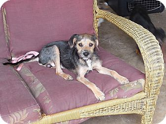 Terrier (Unknown Type, Small) Mix Dog for adoption in Ormond Beach, Florida - Tony