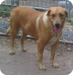 Golden Retriever Mix Dog for adoption in Quinlan, Texas - Luci Two