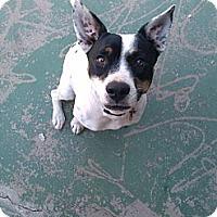 Adopt A Pet :: Leela - Gilbert, AZ