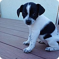 Adopt A Pet :: Molly Moo - Encinitas, CA