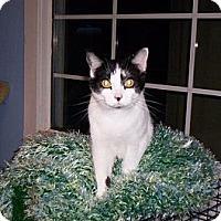 Adopt A Pet :: Shiloh - Grand Chain, IL