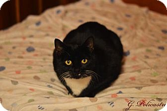 Domestic Mediumhair Cat for adoption in Staten Island, New York - Penny