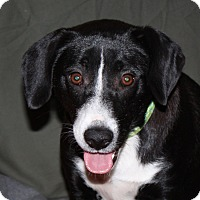 Adopt A Pet :: Oreo - PENDING, in Maine - kennebunkport, ME