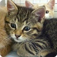 Adopt A Pet :: Kittens - Bensalem, PA