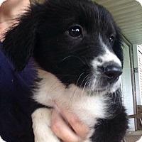 Adopt A Pet :: Terra - Morgantown, WV