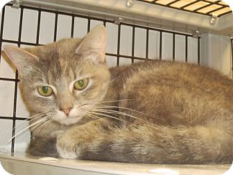 Domestic Shorthair Cat for adoption in Muscatine, Iowa - Shadow