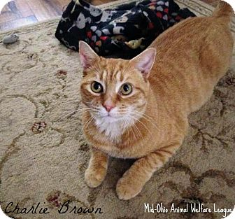 Domestic Shorthair Cat for adoption in Mansfield, Ohio - Charlie Brown