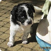 Adopt A Pet :: Prudence - Williston Park, NY