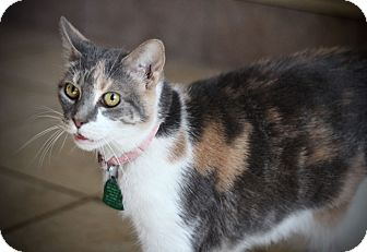 Calico Cat for adoption in San Antonio, Texas - Cocoa