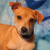 Adopt A Pet :: BARKLEY - Chihuahua - Dallas, TX