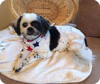 Lhasa Apso Mix Dog for adoption in Newfield, New Jersey - Watson