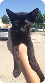Domestic Shorthair Kitten for adoption in Fort Worth, Texas - Flowers