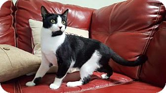 Domestic Shorthair Cat for adoption in Naples, Florida - KC