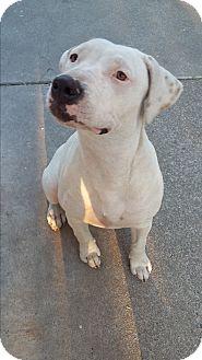 Pit Bull Terrier/Labrador Retriever Mix Dog for adoption in Sacramento, California - Khloe