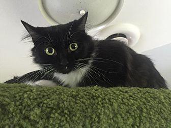 Domestic Longhair Cat for adoption in Burlington, North Carolina - MARTHA
