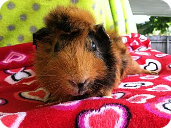 Guinea Pig for adoption in Coral Springs, Florida - Scooby